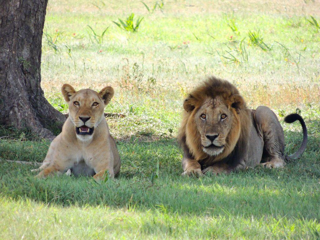 lions tanzanie